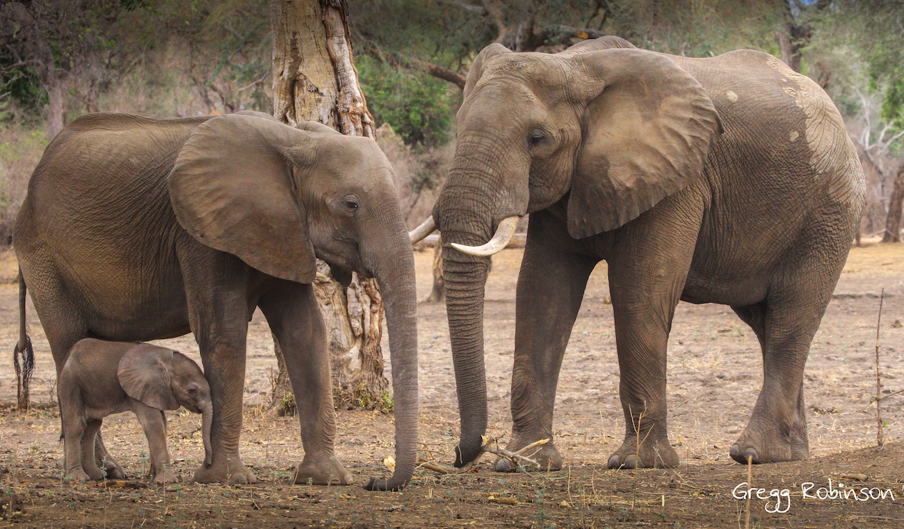 Photo of an elephant family by Gregg Robinson