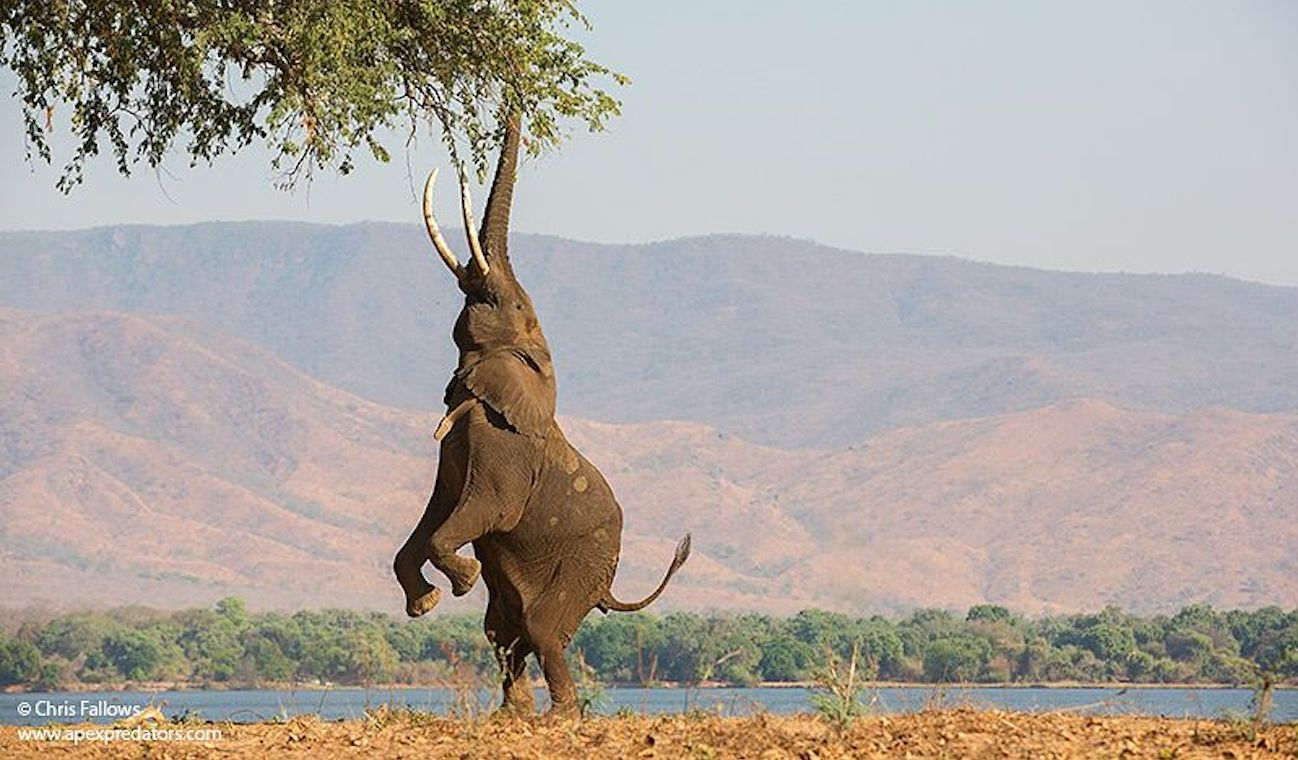 Photo of elephant by Chris Fallows
